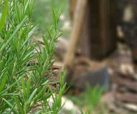 Aroma di legna al rosmarino
